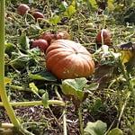 legumes du potager du gite de kerioret izella