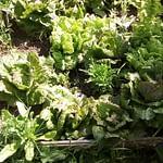 salades du potager des chambre d'hotes